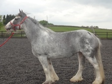 Broodmares horse - 10 yrs 1 mth 15.0 hh Blue Roan - West Yorkshire