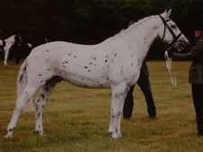 Beautiful Leopard Spot Gelding