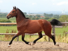 Super Flashy Sec D Gelding - A Lovely Family Horse