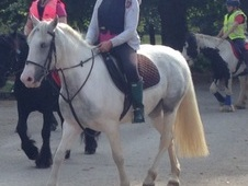 Lovely 14. 3 blue and white Irish sports horse age 8