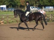All Rounder horse - 13 yrs 15.2 hh Dark Bay - County Durham