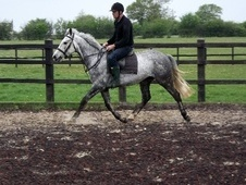 All Rounder horse - 6 yrs 15.2 hh Dapple Grey - Essex