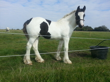 Pixie - Friendly Stocky Coloured Cob Filly