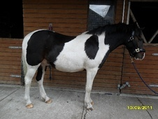 Coloured horse - 4 yrs 13.2 hh Skewbald - Lancashire