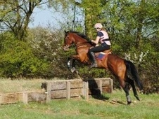 All Rounder horse - 11 yrs 16.3 hh Bay - East Sussex