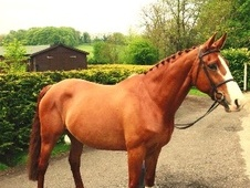 All Rounder horse - 10 yrs 16.0 hh Chestnut - Wiltshire