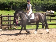 All Rounder horse - 7 yrs 15.2 hh Dark Bay - Leicestershire