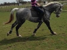 All Rounder horse - 8 yrs 1 mth 16.1 hh Dapple Grey - Staffordshire