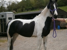 All Rounder horse - 3 yrs 3 mths 15.3 hh Piebald - West Glamorgan