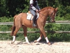 All Rounder horse - 11 yrs 8 mths 16.0 hh Chestnut Roan - Kent