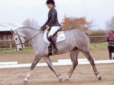 Quiet 16hh Ish Allrounder, Rising 5 Years Grey Mare