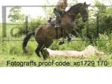 16. 1 selel francais bay mare 11 years