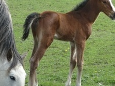 Young Stock  horse - 1 mth 16.0 hh Dapple Grey - West Yorkshire