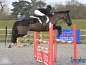 All Rounder horse - 7 yrs 16.0 hh Black - Dorset