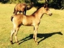 Bay Colt Sired By Dycott Denzell