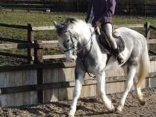 All Rounder horse - 3 yrs 3 mths 15.1 hh Blue & White - Leicester...