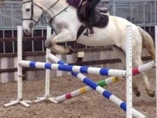 All Rounder horse - 7 yrs 2 mths 16.1 hh Grey - Leicestershire