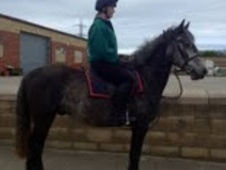 All Rounder horse - 5 yrs 15.1 hh Grey - County Durham