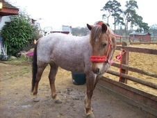 Other horse - 9 yrs 13.3 hh Strawberry Roan - Berkshire
