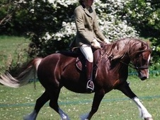 All Rounder horse - 6 yrs 11 mths 13.0 hh Liver Chestnut - Mersey...