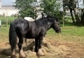 Cobs horse - 5 yrs 14.1 hh Black - West Midlands