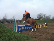 Riding Club Horses/Ponies horse - 9 yrs 10 mths 16.2 hh Chestnut ...