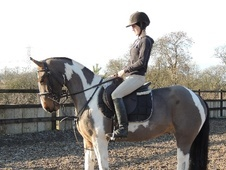 All Rounder horse - 5 yrs 15.0 hh Tri-Coloured - Leicestershire