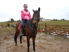 All Rounder horse - 7 yrs 3 mths 15.2 hh Dark Bay - Wiltshire