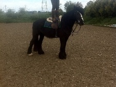 All Rounder horse - 4 yrs 14.2 hh Black - West Midlands