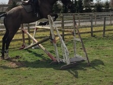 All Rounder horse - 7 yrs 1 mth 16.3 hh Bay - Staffordshire