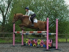 All Rounder horse - 11 yrs 15.2 hh Liver Chestnut - Leicestershire