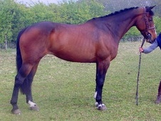 All Rounder horse - 8 yrs 16.0 hh Bay - Kent