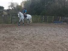 Irish Sport Horse- Reduced To Sell