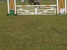 All Rounder horse - 7 yrs 16.1 hh Dapple Grey - Essex