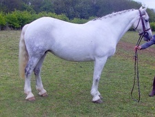 All Rounder horse - 10 yrs 15.1 hh Grey - Kent