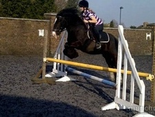 Cobs horse - 6 yrs 3 mths 13.2 hh Black - Surrey
