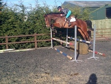 Show Jumpers horse - 5 yrs 16.3 hh Bay - Leicestershire