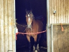 Mountain & Moorland horse - 6 yrs 5 mths 14.3 hh Bay - Cheshire