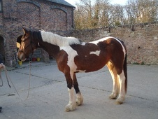 All Rounder horse - 3 yrs 15.3 hh Coloured - Shropshire