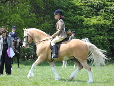 Hoys potential, registered palomino 13. 1 HH welsh Sec C, 7 years