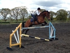 Showing horse - 7 yrs 15.3 hh Bright Bay - North Yorkshire