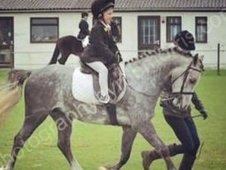 All Rounder horse - 4 yrs 11 mths 13.0 hh Dapple Grey - Cambridge...