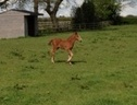 Young Stock  horse - 2 mths 16.2 hh Chestnut - South Glamorgan