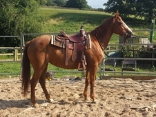 Sassy - Pretty Chestnut American Quarter Horse Mare - Lovely Fun ...