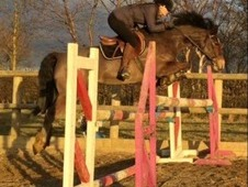 14. 1HH 9year old Reg Welsh D Mare