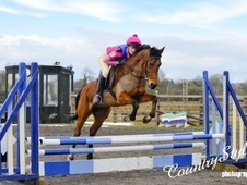All Rounder horse - 12 yrs 14.2 hh Bay - Cheshire