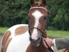 All Rounder horse - 5 yrs 12.2 hh Coloured - North Yorkshire