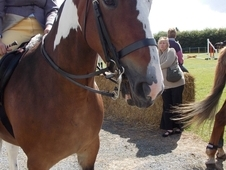 For loan, Jess, cob x trotter mare