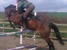 All Rounder horse - 7 yrs 10 mths 14.1 hh Bay - Cambridgeshire