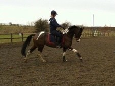 All Rounder horse - 3 yrs 10 mths 15.1 hh Tri-Coloured - North Yo...